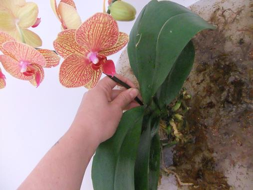 Conditioning orchid plants