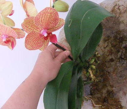 Condition Epiphyte Orchids