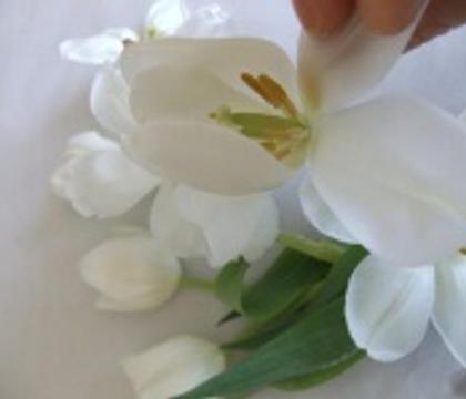 Reflex Tulip Petals
