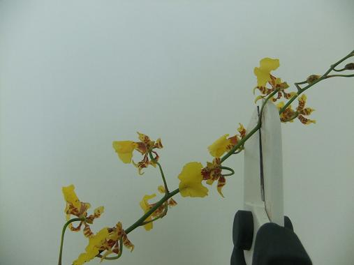 Cut oncidium orchids into short sections