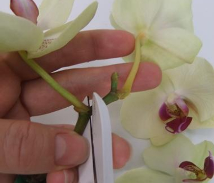 Placing orchids in test tubes