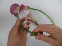 Curving Calla Lilies