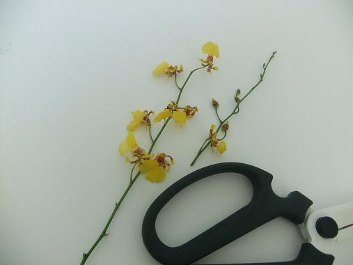 Oncidium orchids cut short