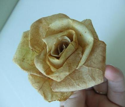 Autumn leaf Roses