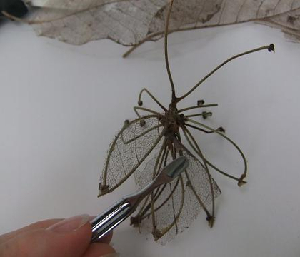 Twig and skeleton leaf Stick Insect