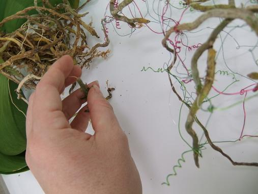 Weave in the healthy roots from Phalaenopsis orchid plants