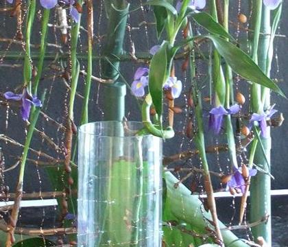 Dracaena sanderiana - Lucky Bamboo, Ribbon Dracaena, Belgian Evergreen, Ribbon Plant