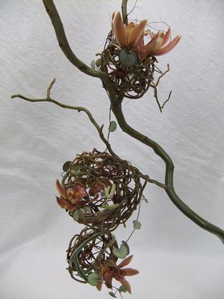 """Salix matsudana """"Tortuosa"""" - Curly Willow, Chinese Willow, Tortured Willow, Globe Willow, Dragon's Claw, Hankow Willow"""