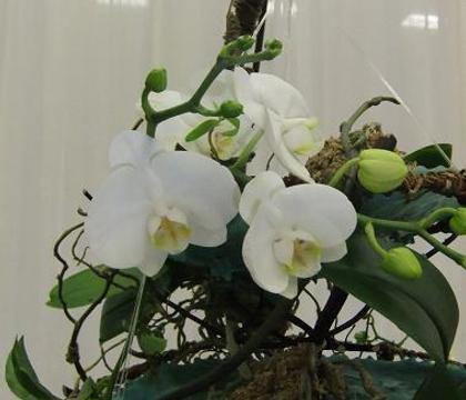 Phalaenopsis - Phalaenopsis, Moth orchid