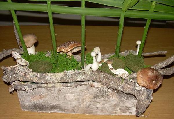 Lentinula edodes - Shiitake Mushrooms