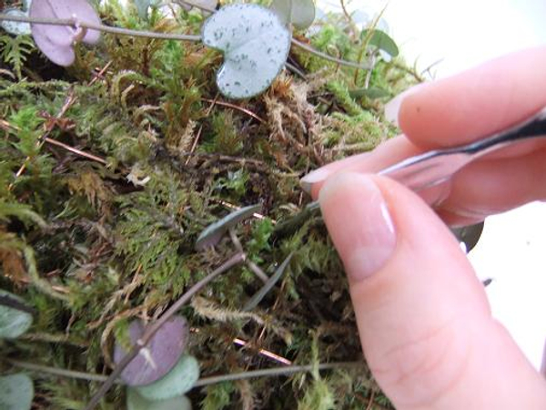 Push the rosary vine (ceropegia woodii) stems deep into the wet moss with a nail cuticle pusher