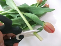 Where to cut Tulips to condition