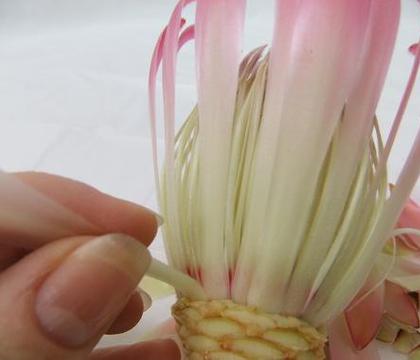 Peel a Protea flower