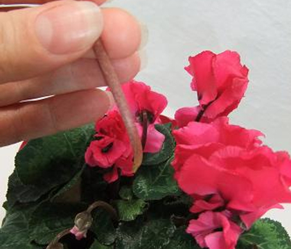 Harvesting cyclamen flowers and foliage