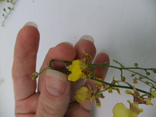 Bending an Oncidium orchid stem without breaking it .