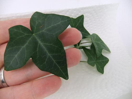 Ivy leaves 507x380