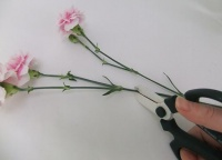 Where to cut Carnations or Pinks to condition