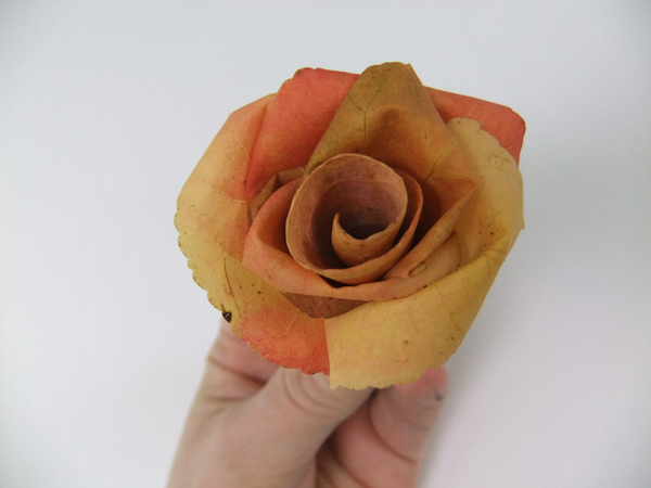 Salmon pink autumn leaf rose