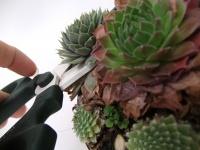 Harvesting succulents