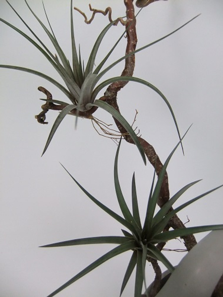 Air circulation around the Tillandsia plants