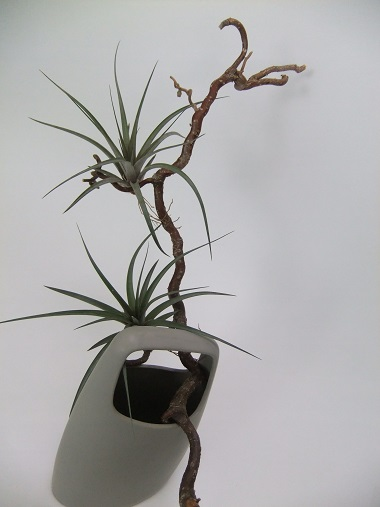 Air plants displayed on a hazel twig