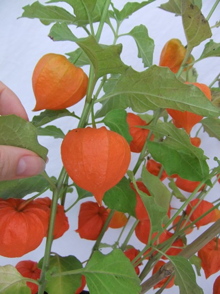 Cut the Physalis Pods from the plant stem