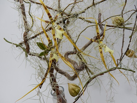 Brassia spider orchids and Tillandsia Usneoides