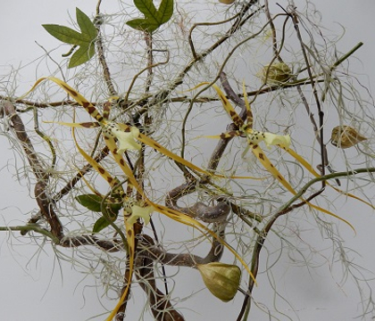 Brassia - Spider orchid