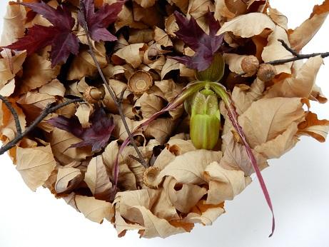 Phragmipedium longifolium - The Long-Leaf Phragmipedium (longifolium means long leaf), Phrag