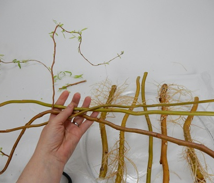 Well Rooted Sprouting Willow Weave