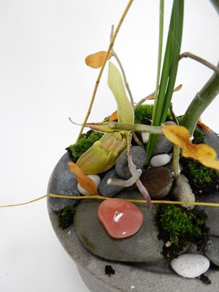 Phragmipedium orchid with twigs, pebbles and moss