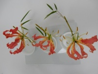 Gloriosa - Glory or Flame lilies, Fire lily, Superb lily, Climbing lily, and Creeping lily