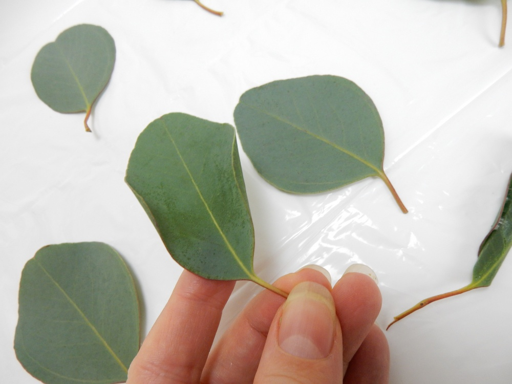 Both sides of the Eucalyptus leaf now curves in