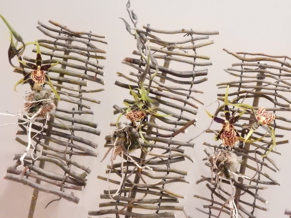 Spider orchids suspended on a twig blind