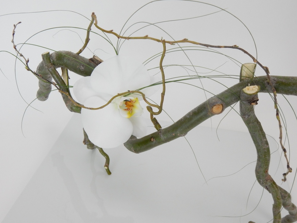 Phalaenopsis orchid resting in a willow armature