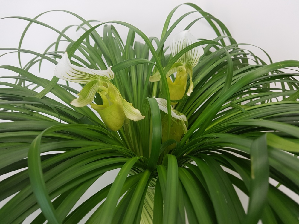 Paphiopedilum and lily grass spira floral art design