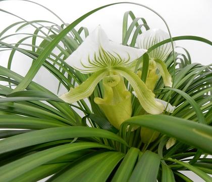Paphiopedilum - Lady Slipper, Slipper orchid