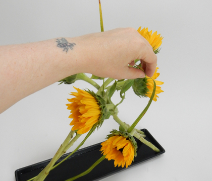 Leaning Sunflowers to stay just so