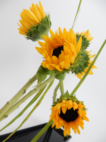 Leaning sunflowers
