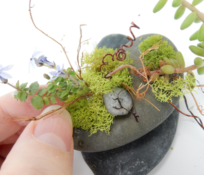 Everlasting succulent and moss display