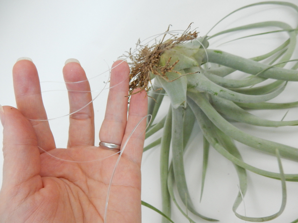 Tie the air plants to the design with fishing line