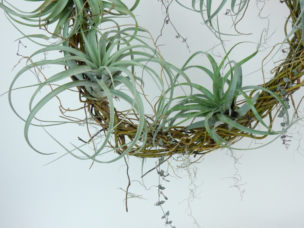Tillandsia and rosary vine