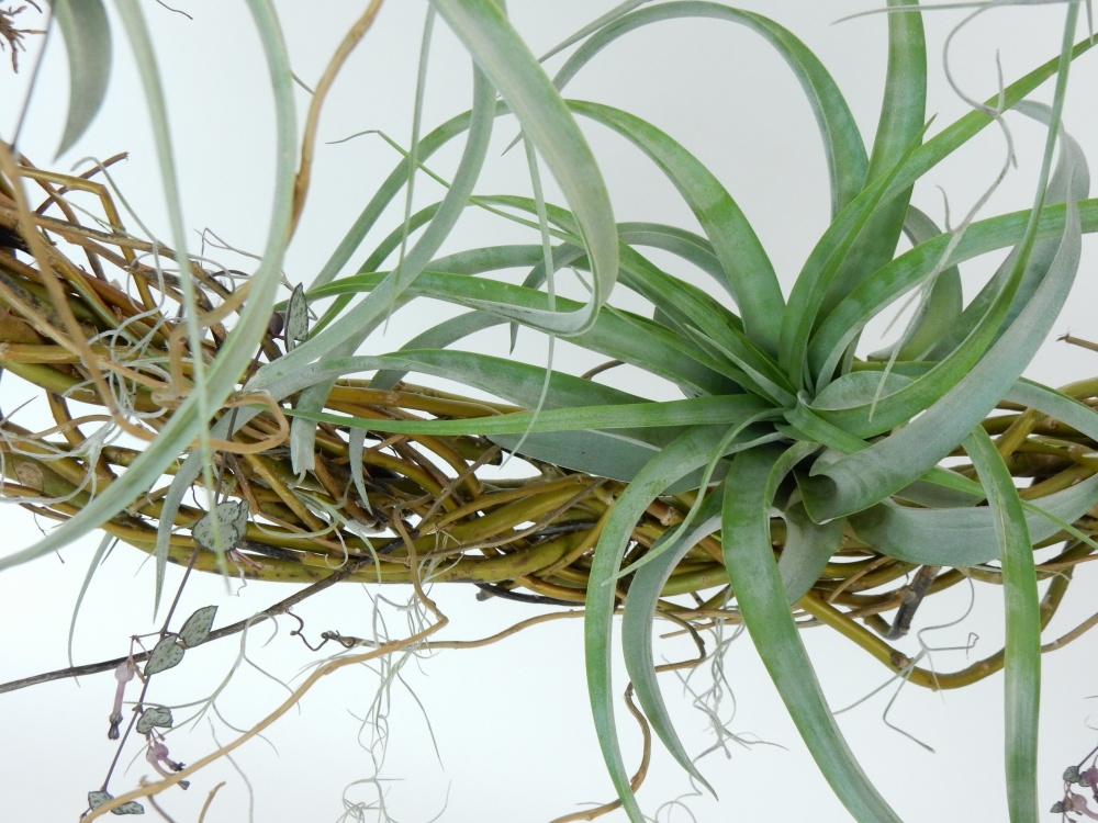 Tillandsia on a wreath