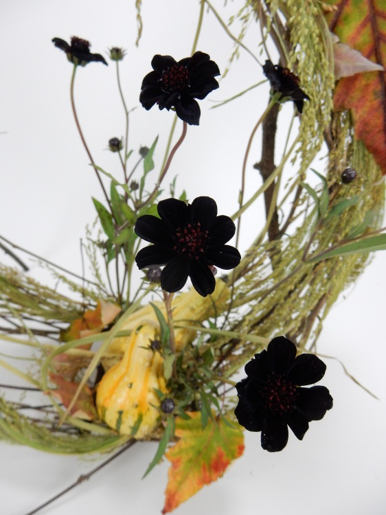 Chocolate cosmos and grass