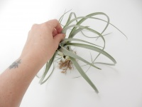Cover the ends of the individual air plant leaves with cotton before adding it to the design