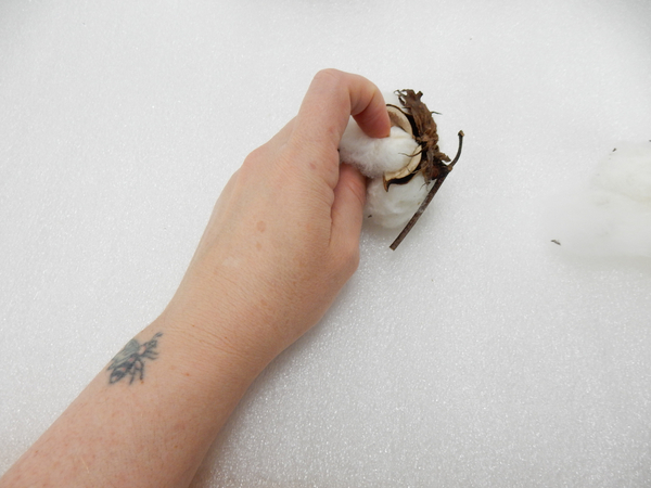 Remove the fluff from a cotton pod