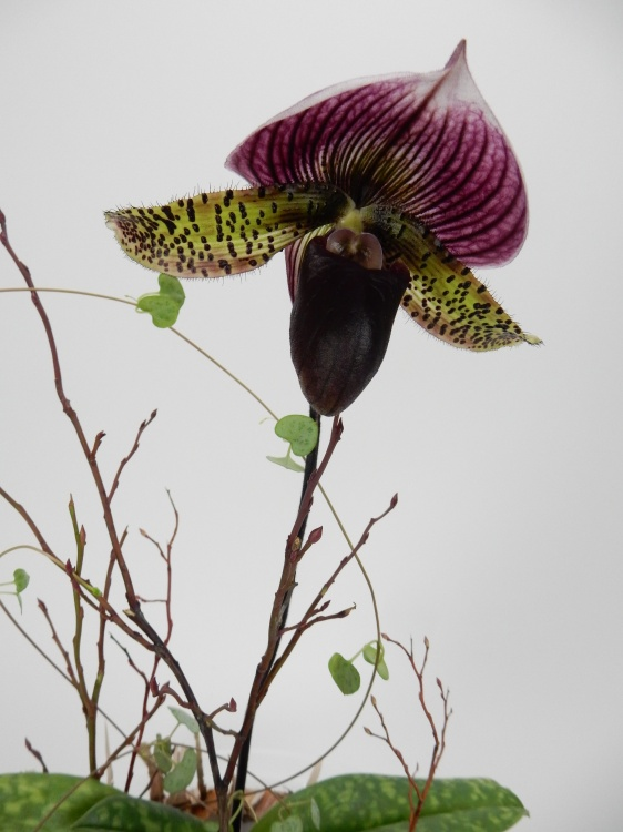 Lady slipper orchid and rosary vine