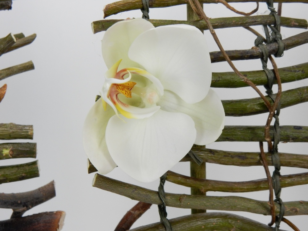 Barely open white Phalaenopsis orchid