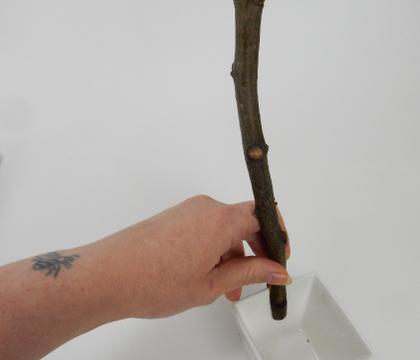 Hana-Kubari twig