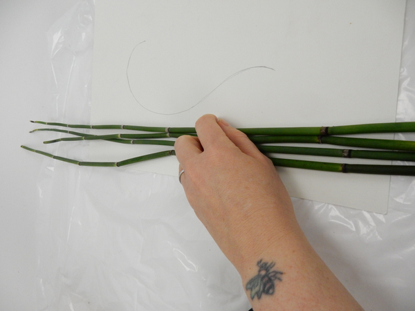 Choose two straight Equisetum shoots